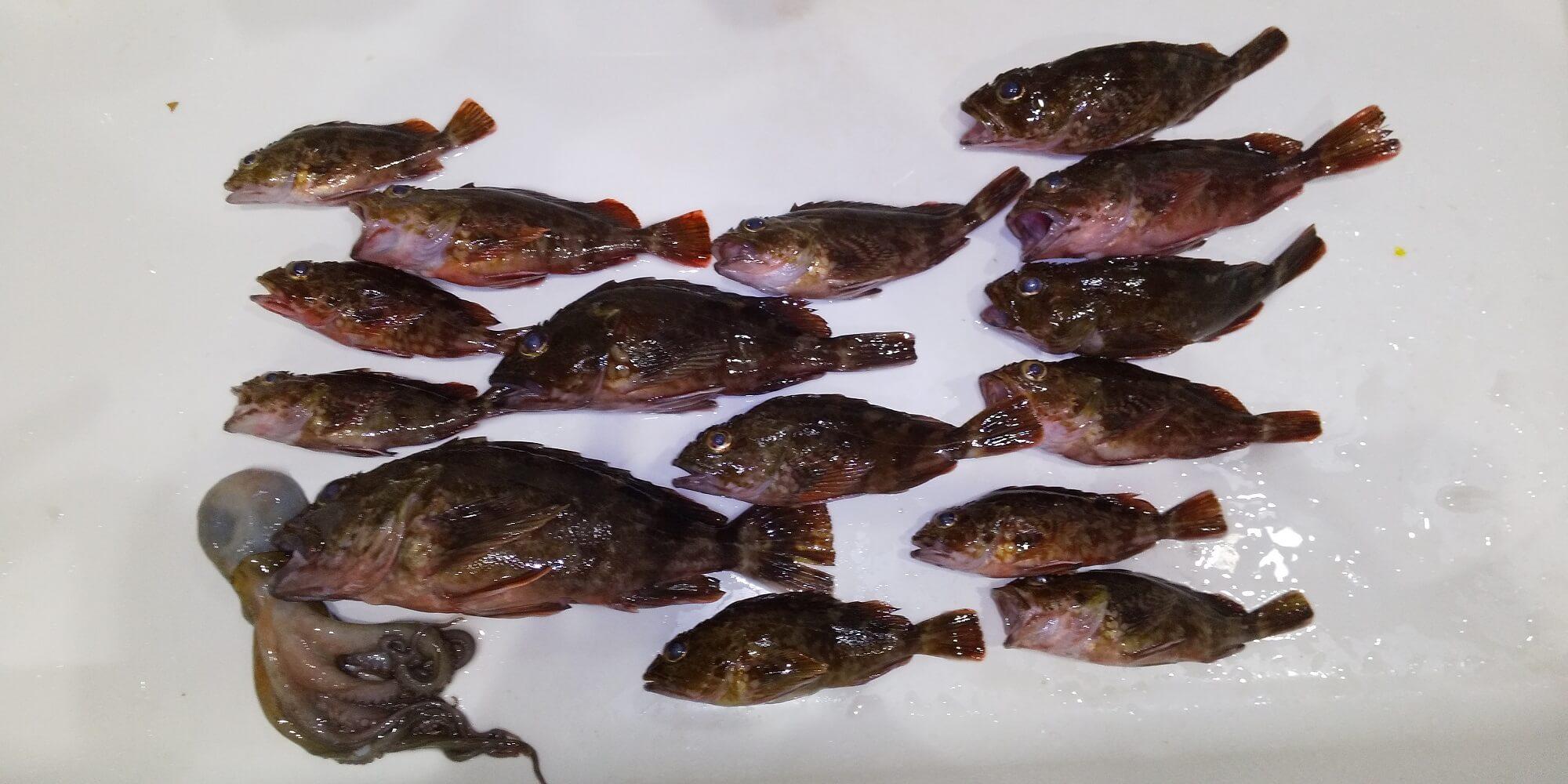 カサゴ釣りに行った時の釣果。左下の小タコに注目!茹でて美味しくいただきました。